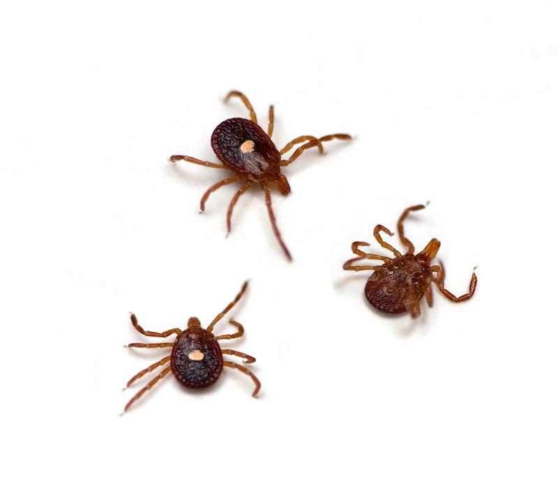 Deer ticks, which carry lyme disease, are typically smaller and faster than larger wood ticks.