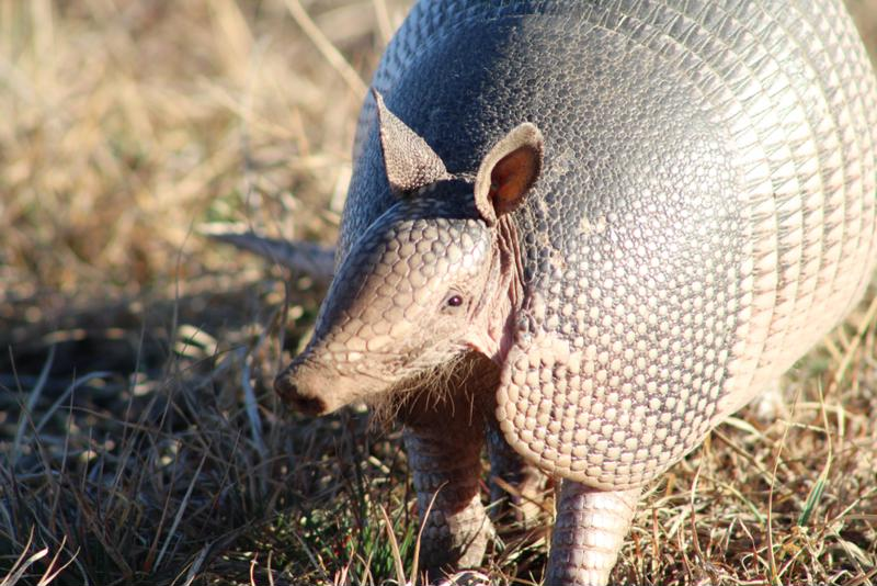 The curious case of armadillo damage, and how to tackle it